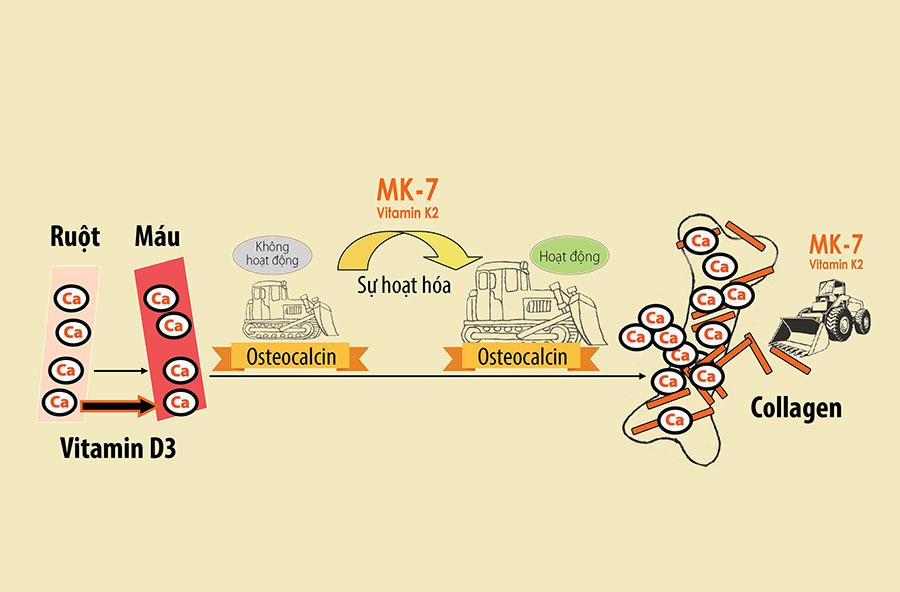 Vai trò của MK7 vitamin K2 với sức khỏe con người